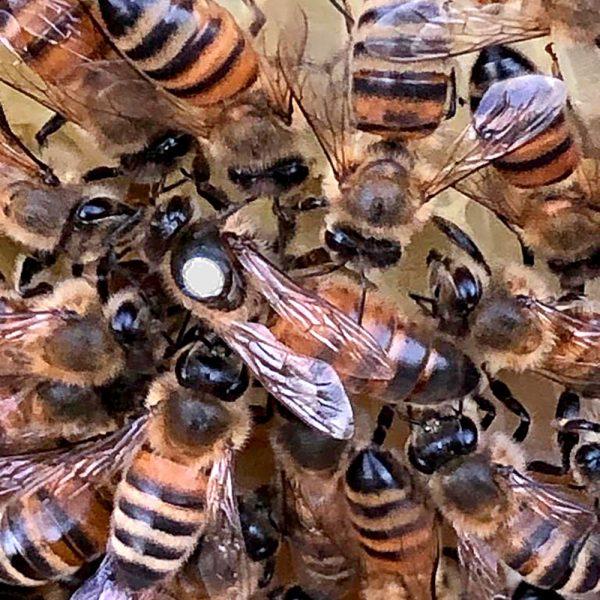 Individual Queen Bee